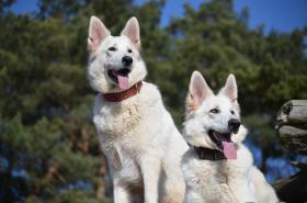 Foto 4 Weiße Schäferhunde Welpen mit Papiere