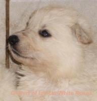 Weisse Schäferhunde of invicta White Roses