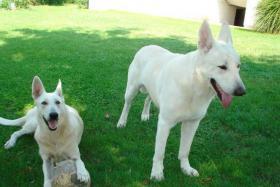 Weiße Schweizer Schäferhund Welpen zu verkaufen