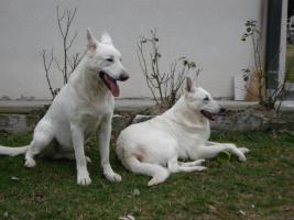 Foto 2 Weiße Schweizer Schäferhund Welpen zu verkaufen