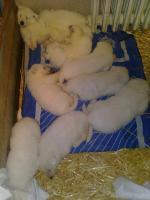 Foto 3 Weiße Schweizer Schäferhund Welpen zu verkaufen