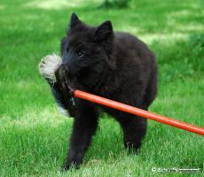 Foto 2 Welpe Belgischer Schaeferhund