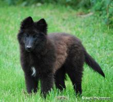 Foto 3 Welpe Belgischer Schaeferhund