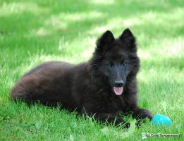 Foto 4 Welpe Belgischer Schaeferhund