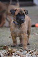 Welpe Belgischer Schäferhund Malinois Rüde mit Papiere