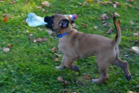 Foto 3 Welpe Belgischer Schäferhund Malinois Rüde mit Papiere
