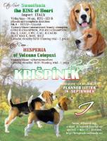 Welpen Beagle