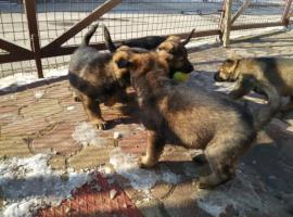 Foto 2 Welpen Deutsch Schäferhund zu verkaufen