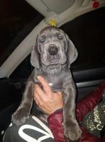 Foto 2 Welpen Deutsche Dogge mit Papiere - repräsentativer gesellschaftlicher Hund