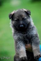 Foto 2 Welpen von dem Deutschen Schäferhund