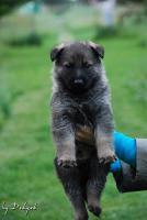 Foto 3 Welpen von dem Deutschen Schäferhund