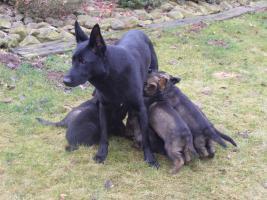 Foto 5 Welpen Deutscher Schäferhund mit ausgezeichnetem Stammbaum