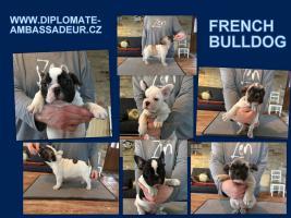 Welpen Französische Bulldogge mit Stammbaum