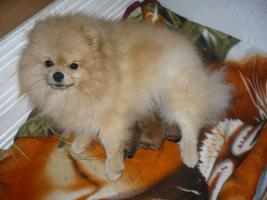 Welpen Pomeranian zu vergeben