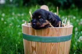 Foto 2 Welpen Rottweiler
