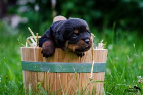 Foto 3 Welpen Rottweiler