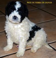 Foto 2 Welpen Spanischer Wasserhund von erfahrenem und mehrfach ausgezeichnetem  Züchter!