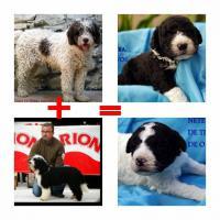 Foto 4 Welpen Spanischer Wasserhund von erfahrenem und mehrfach ausgezeichnetem  Züchter!