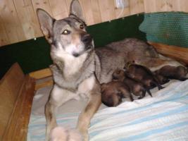 Foto 2 Welpen Tschechoslowakischer Wolfshund mit Papiere - Hündinnen
