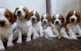 Welpen Welsh Springer Spaniel