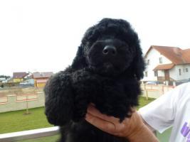 Foto 3 Welpen-nichthaarende Hunde für Allergiker und Anfänger
