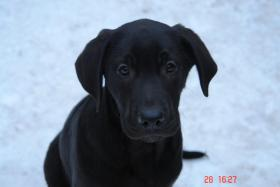 Foto 2 Welpen- Mix ...Labrador Retriever mit D.Dogge