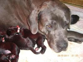 Foto 5 Welpen, Saupacker, Dogge/Fila/Mastiff/CaneCorso Molosser