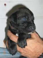 Foto 6 Welpen, Saupacker, Dogge/Fila/Mastiff/CaneCorso Molosser