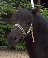 Welsh-Shetty Mix Ponystute 6 J., angeritten