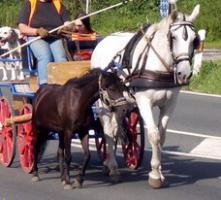 Foto 4 Welsh-Shetty Mix Ponystute 6 J., angeritten