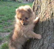 Wer einen kleinen Hund (Kleinspitz) mit großem Herzen sucht, wird hier fündig.