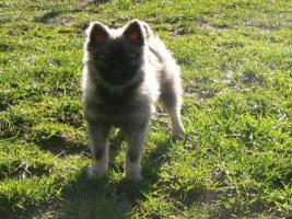 Foto 3 Wer einen kleinen Hund (Kleinspitz) mit großem Herzen sucht, wird hier fündig.
