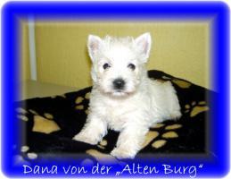 West Highland White Terrier Westi Westie Westhigland Cäsar Cesar