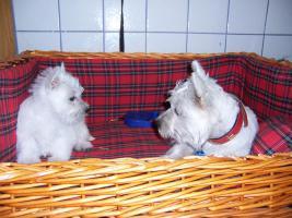 West-Highland-White Terrier (Westie)