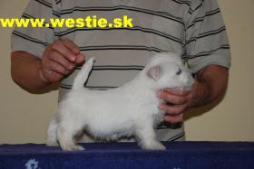 West Highland White Terrier, westie wellpen