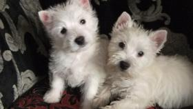 Westhighland White Terrier Westie