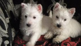 Foto 2 Westhighland White Terrier Westie