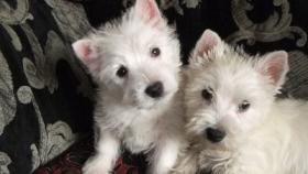 Foto 3 Westhighland White Terrier Westie