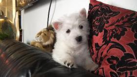 Foto 4 Westhighland White Terrier Westie