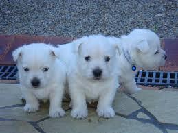 Westi-Terrier Welpen zu verkaufen