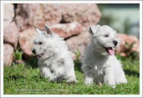 Foto 2 Westy terrier welpen zu verkaufen