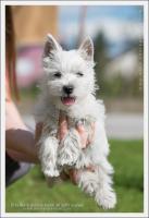 Foto 3 Westy terrier welpen zu verkaufen