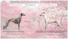Whippet - English Greyhound