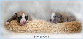 Foto 2 Whippet - English Greyhound