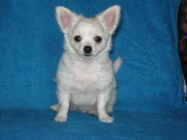 White long-haired chihuahua boy with pedigree
