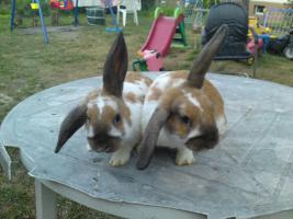 Widder Kaninchen und Löwenköpfchen