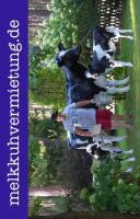Foto 2 Willste ne deko melk kuh mieten oder ...