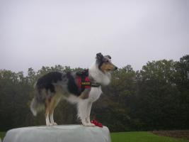 Foto 3 Wir bekommen American Collie Welpen!!!! (Collies of American Stars and Stripes)