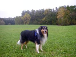 Foto 4 Wir bekommen American Collie Welpen!!!! (Collies of American Stars and Stripes)