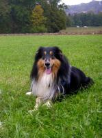 Foto 5 Wir bekommen American Collie Welpen!!!! (Collies of American Stars and Stripes)